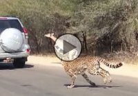 An impala antelope escaping two cheetahs – by leaping into a tourist car!