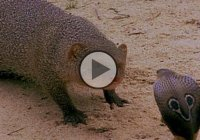 A King cobra was blocking the traffic, but then this pissed off mongoose came…