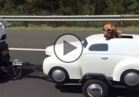 Dog Driving A Mini Car – How Cute Is That??