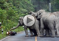 Wild Elephant Herd Attacks A Motorcycle Rider – Maybe They Were Trying To Steal The Bike??